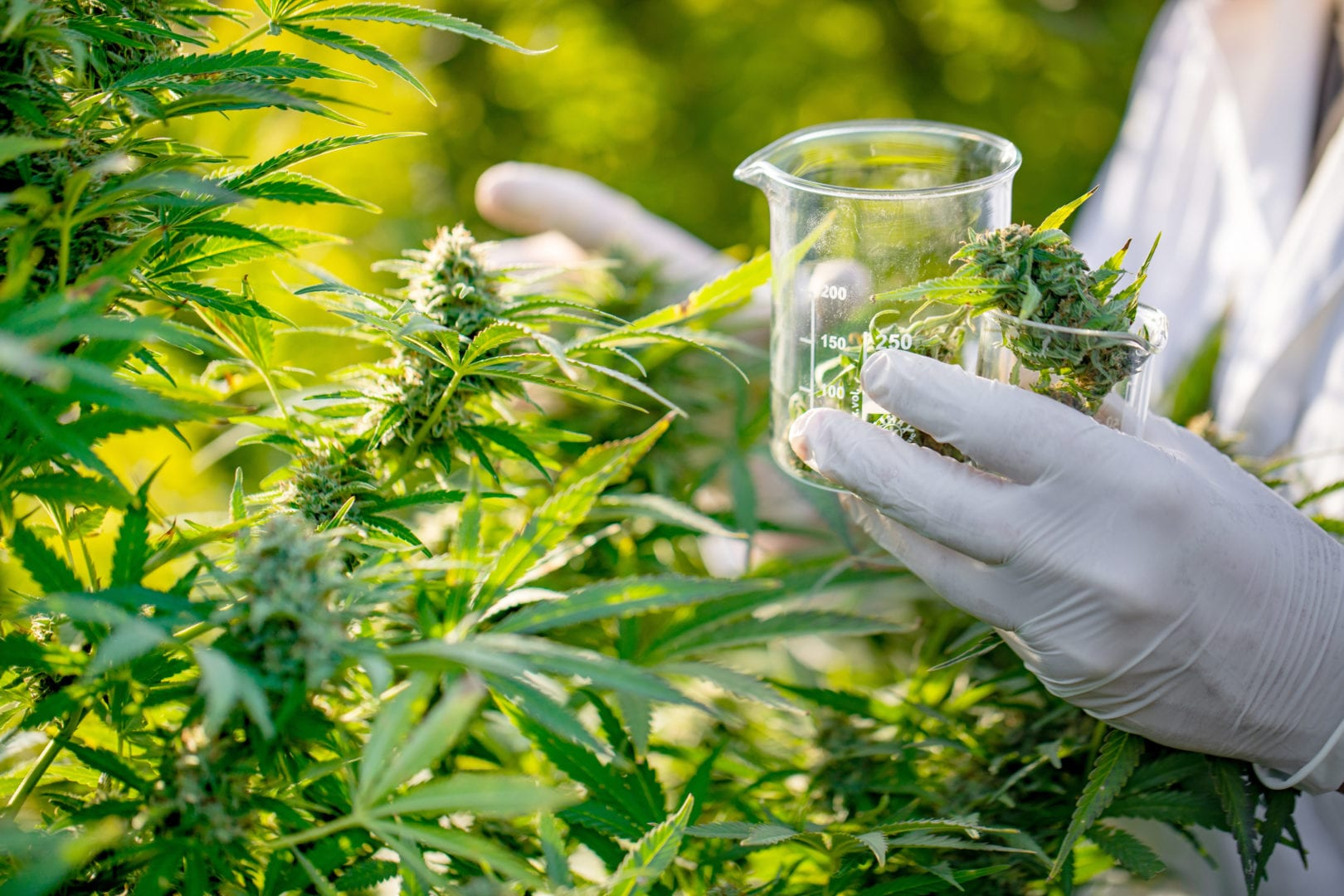 Study on cannabis chemical as a treatment for pancreatic cancer
